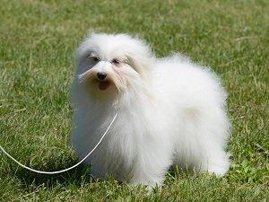 собака котон де тулеар фото