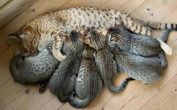 много ли котят рождается