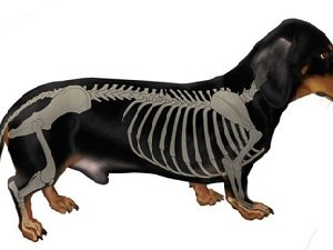 межпозвоночная грыжа у собак операция