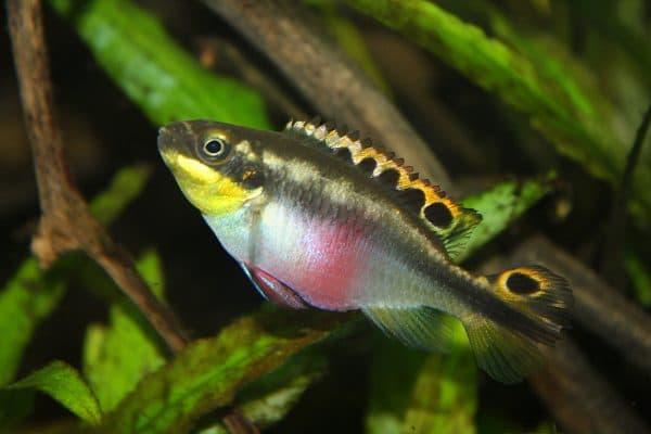 Пельвикахромис пульхер в аквариуме